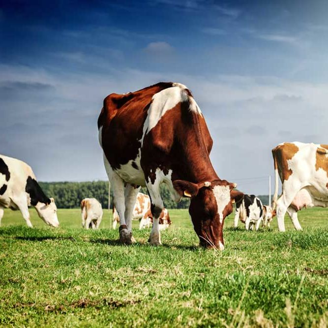 cows grazing on a grassy field