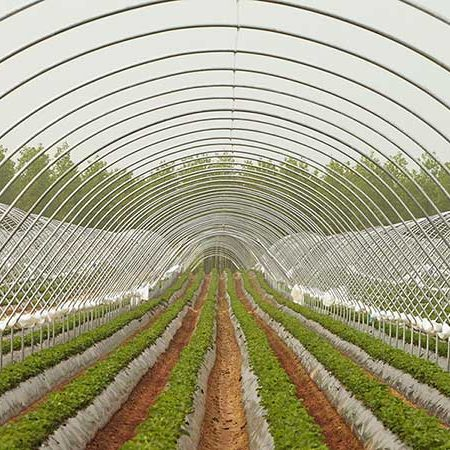Rows of strawberry crops